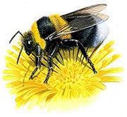 How Bee's Fly Thumbnail