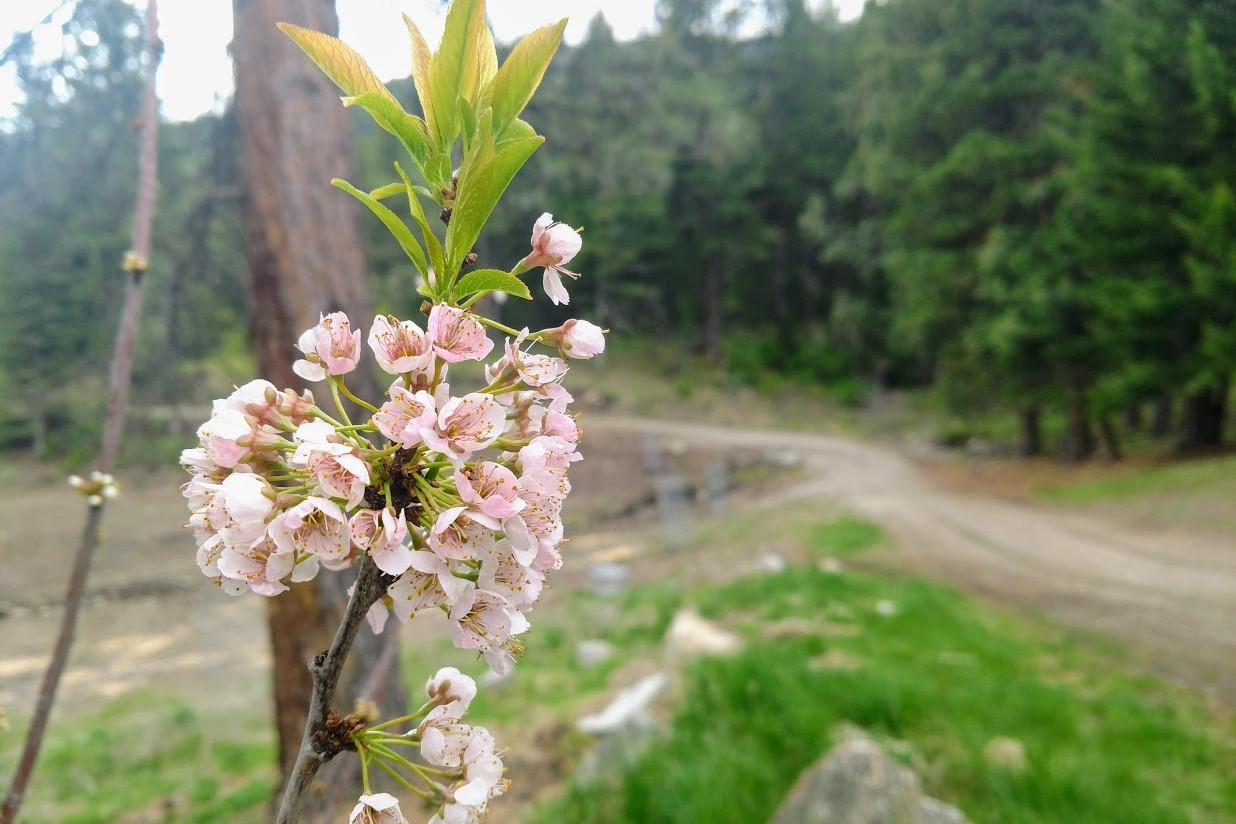 Photo of cherry blossoms in family orchard