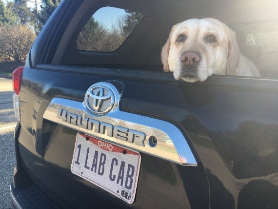 Cash the Labrador in her Lab Cab
