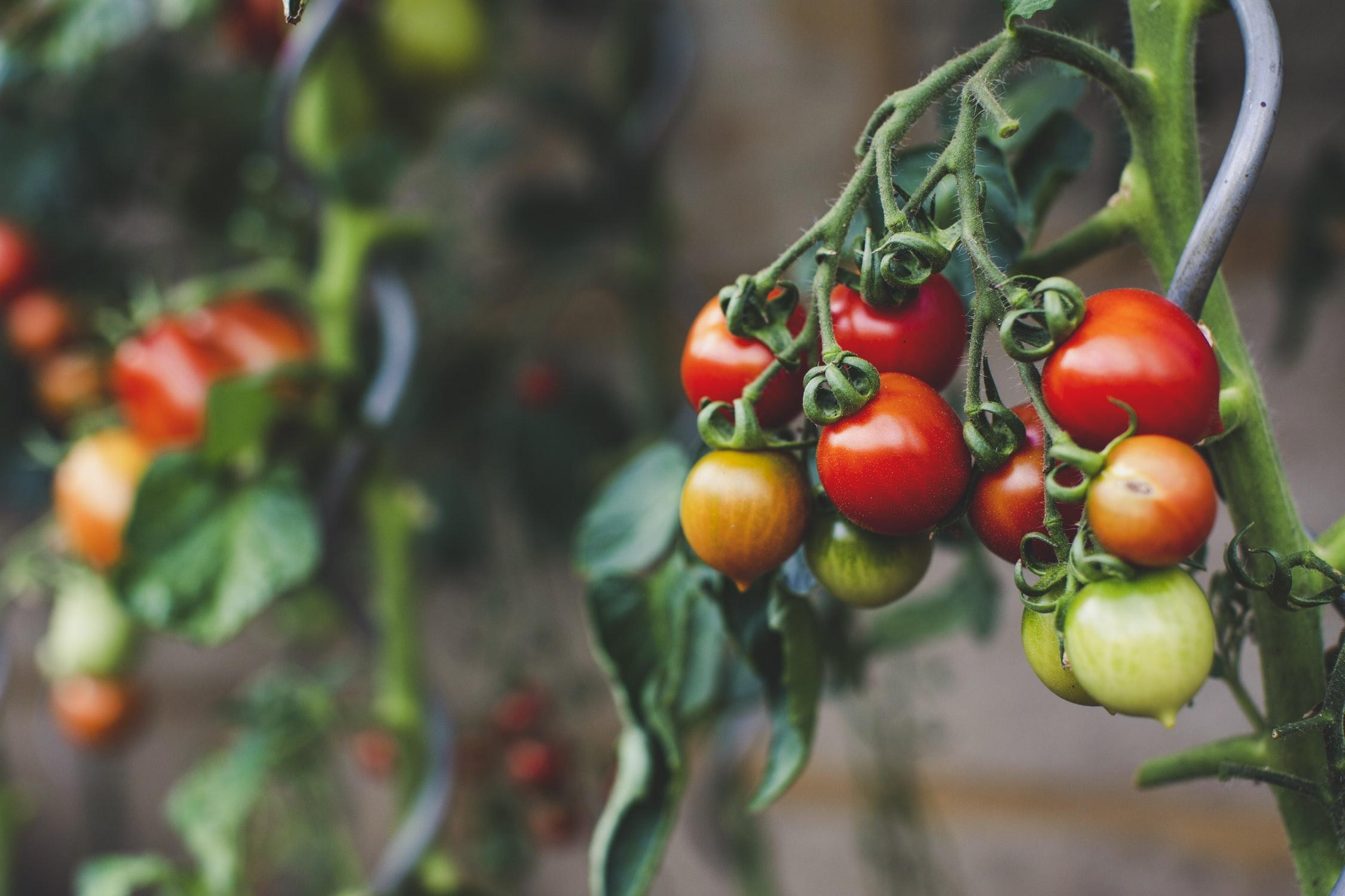 How to Grow the Best Tomatoes - 7 Dees Webinar Thumbnail