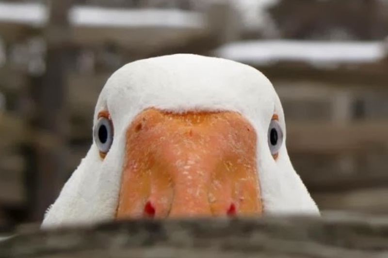 Geese Are Pure Evil Thumbnail