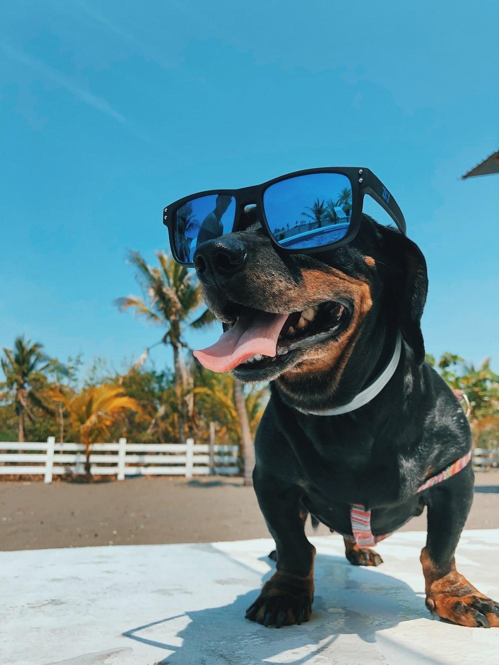 short-coated black dog wearing sunglasses