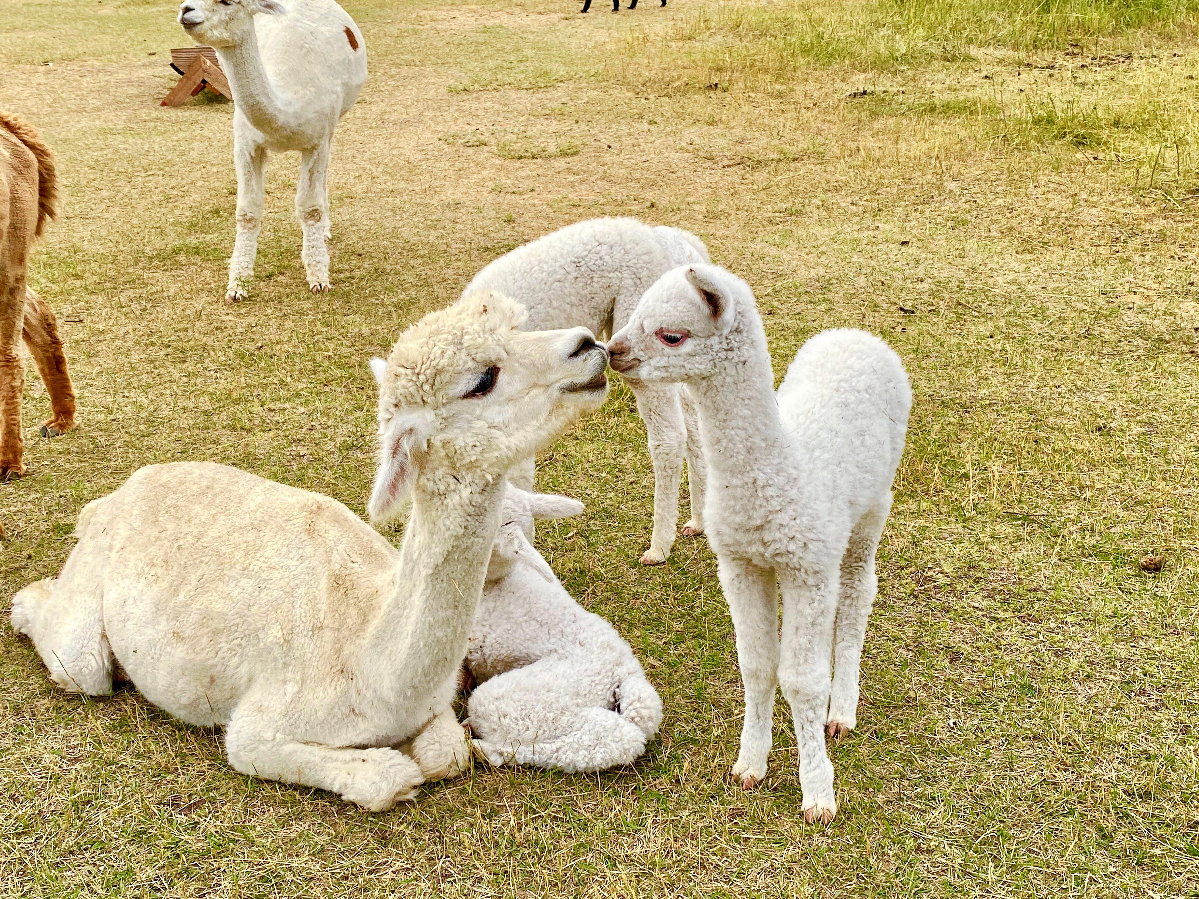 Harvest Host Alpaca Farm - Montana