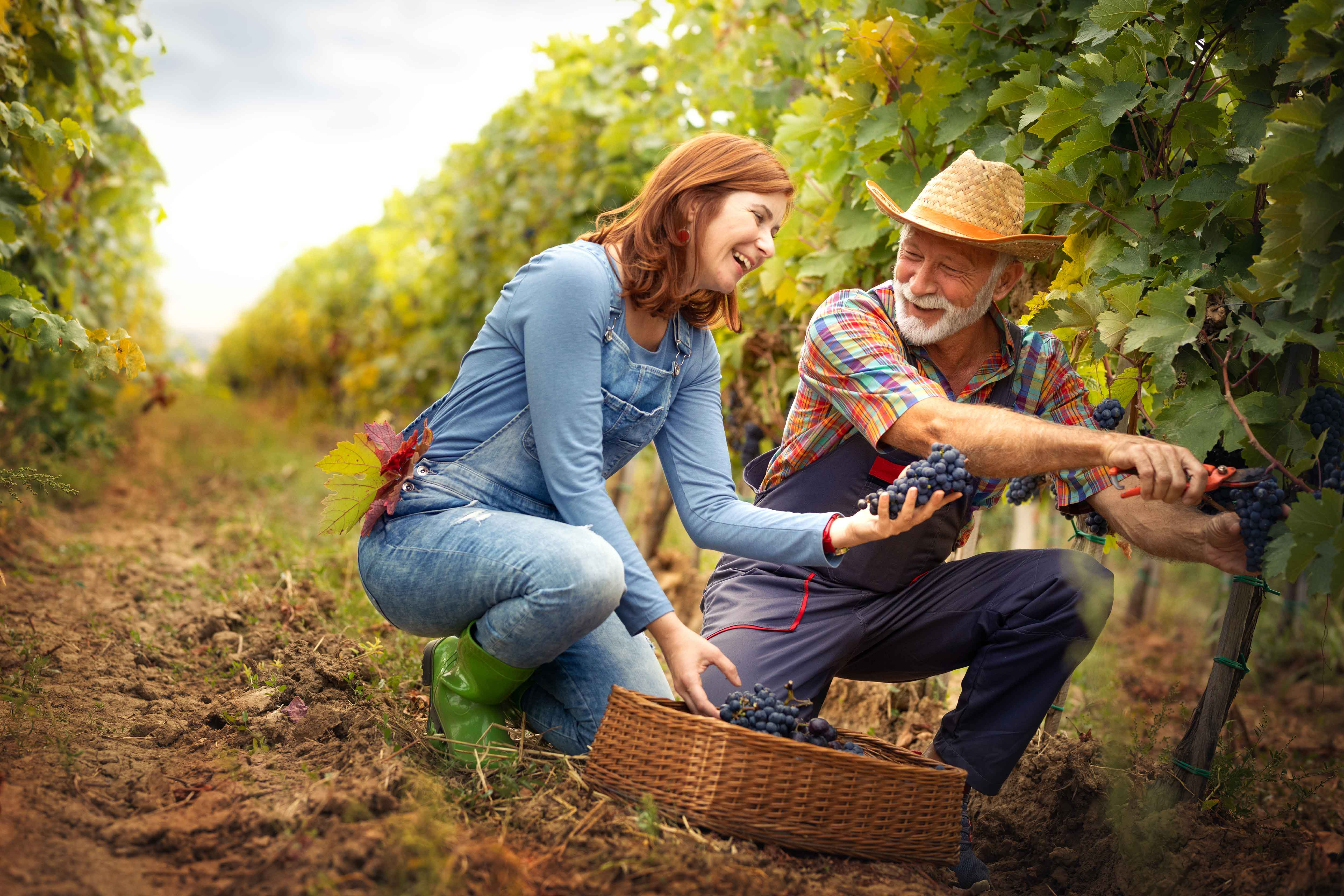 Two people picking grapes at a vineyard